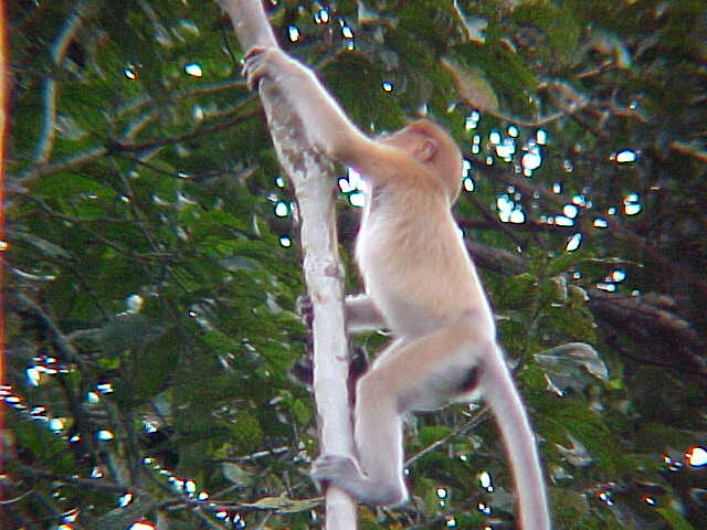 Female probiscus monkey (Malaysia, The Travel Addicts)