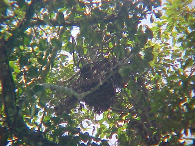 MVC-868S-Orangutan nest. Sepilok Orangutan Rehabilitation Centre, Sabah, Malaysia (The Travel Addicts, Malaysia)