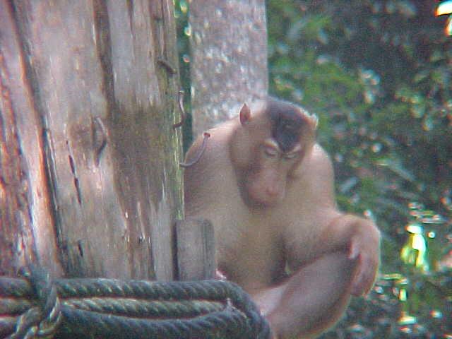 MVC-871S-Macaque. Sepilok Orangutan Rehabilitation Centre, Sabah, Malaysia (The Travel Addicts, Malaysia)