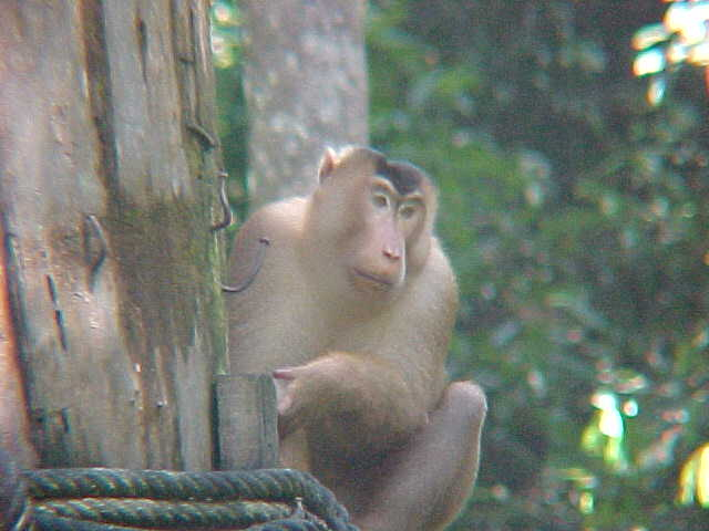 MVC-872S. Sepilok Orangutan Rehabilitation Centre, Sabah, Malaysia (The Travel Addicts, Malaysia)