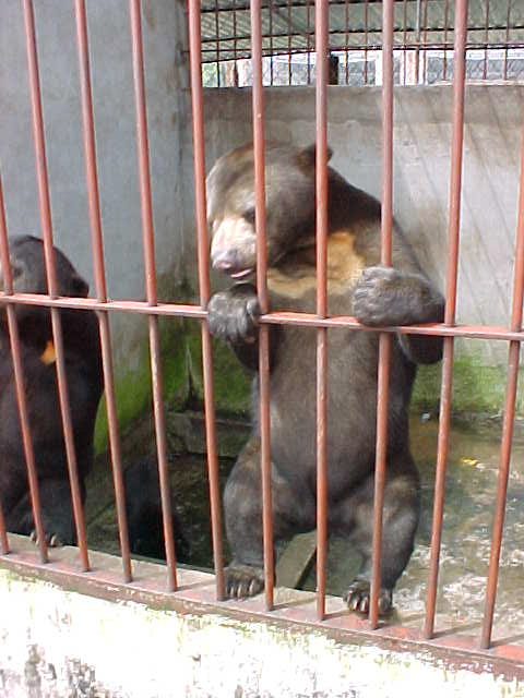 Sunbears : Destined for the gall blader market in China (Vietnam, The Travel Addicts)