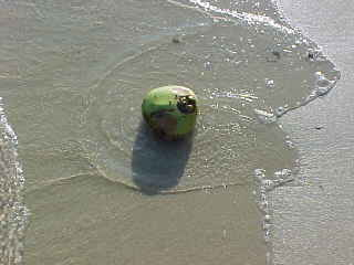 Coconut washed up on the beach (The Travel Addicts, Thailand)