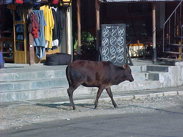 Holy Cow(s)! (Nepal, The Travel Addicts)
