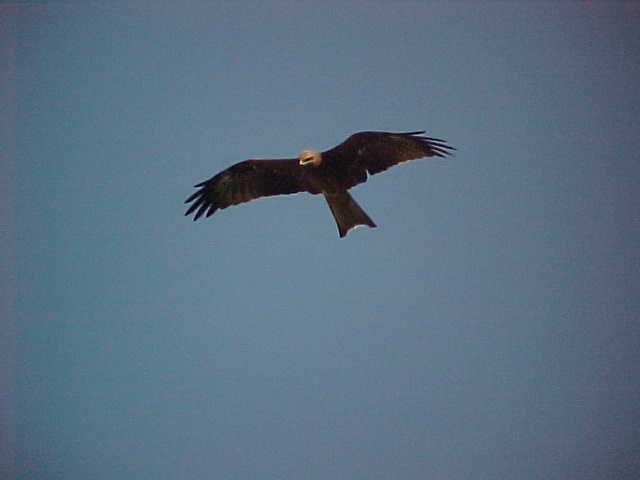 Eagle (Nepal, The Travel Addicts)