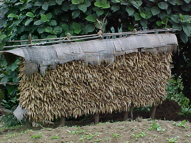 Drying corn (Nepal, The Travel Addicts)