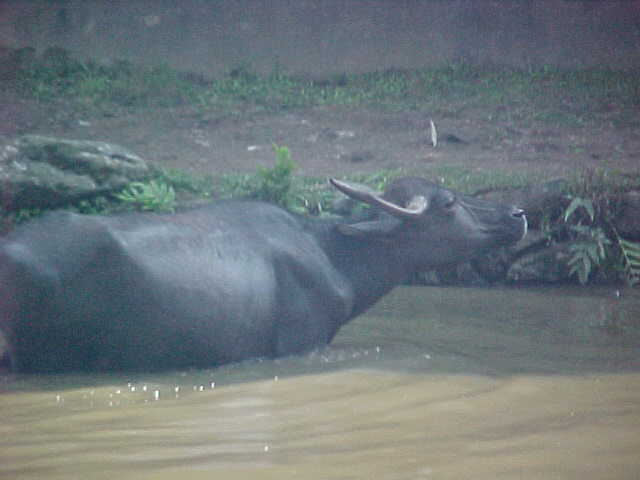 Buffalo wallow (Nepal, The Travel Addicts)