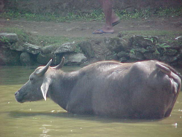 Buffalo bathing (Nepal, The Travel Addicts)