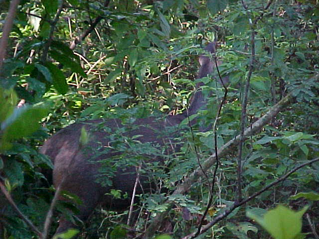 Samba Deer : We actually saw 2 (but again - the picture taking was hampered by the mobs of elephants)- the other had 2 sets (that's 4) of antlers - at about 4 points each - does that make it a 16 point buck? (Nepal, The Travel Addicts)