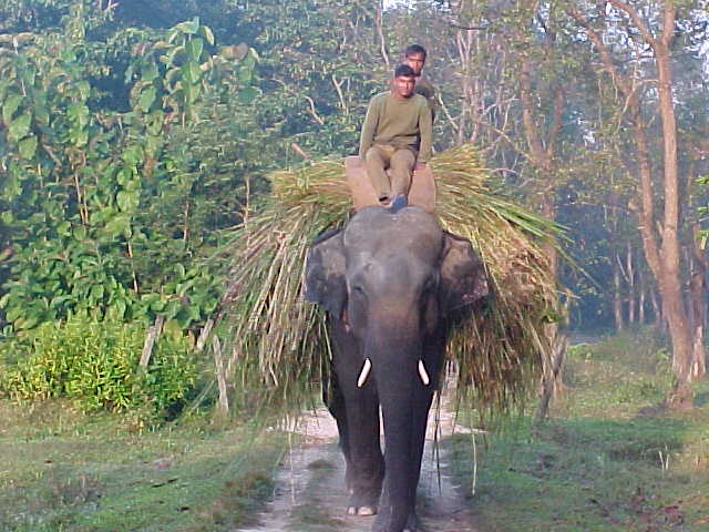 Elephant retrieving his own lunch (Nepal, The Travel Addicts)