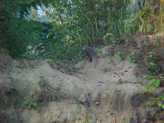 Mongoose (Nepal, The Travel Addicts)