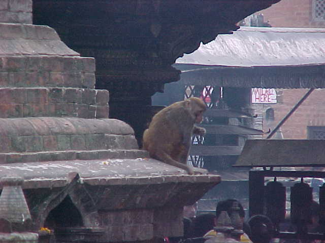 The monkeys that gave the temple it's nickname (Nepal, The Travel Addicts)