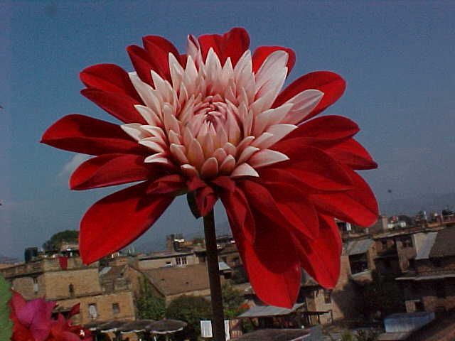 Flower on the rooftop of Pagoda Hotel (Nepal, The Travel Addicts)